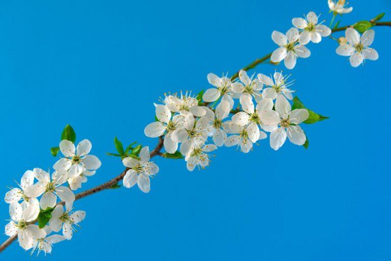 cherry blossoms, sakura, flowers